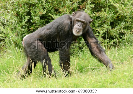 Close up of a Chimpanzee (pan troglodytes)