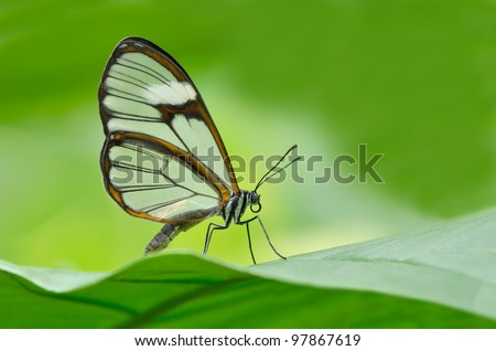Close-up of a clearwing butterfly (Miraleria cymothoe) perched on a leaf