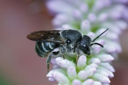 Close up of a cleptoparasite bee, Stelis punctulatissima on a lightblue flower in the garden
