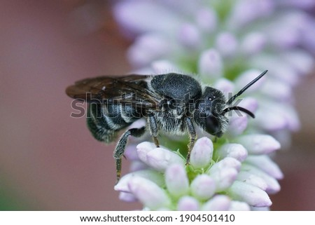 Close up of a cleptoparasite bee, Stelis punctulatissima on a lightblue flower in the garden  Foto d'archivio ©