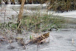 Close up of a clump of evergreen Juncus conglomeratus, known commonly as compact rush protruding from frozen water during thaw in winter. Poland, Europe