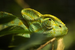 Close up of a colorful  reptile animal chameleon changing color with eye and ear of the animal on the green color plant at Russia with scientific name Chamaeleonidae