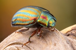 close up of a colorful rosemarry beetle on a branch.