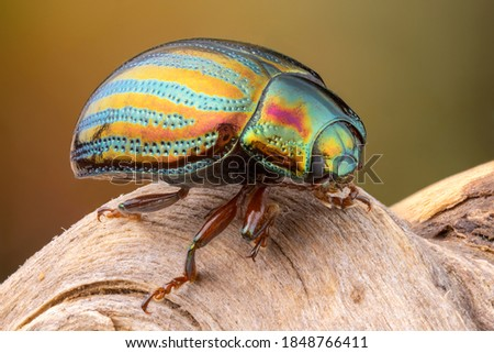 close up of a colorful rosemarry beetle on a branch. Stockfoto ©