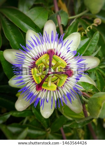 Close up of a colourful passion flower blooming in summertime. this flowers only blooms for a day and then it closes again for a year until next summer #1463564426