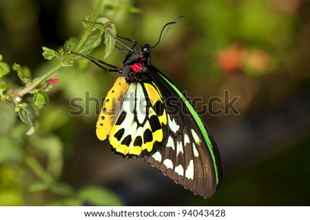 Close-up of a Common Birdwing (Troides helena) , a beautiful and large butterfly belonging to the Swallowtail (Papilionidae family).