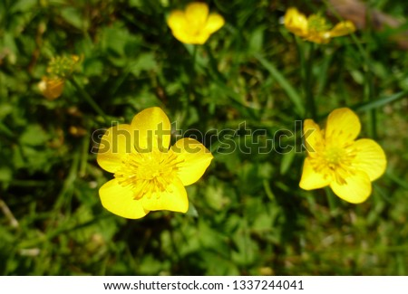 Close up of a Common Buttercup yellow flowers on green grass background. Ranunculus acris (meadow buttercup, tall buttercup, giant buttercup). Belarus, Grodno gardens. #1337244041