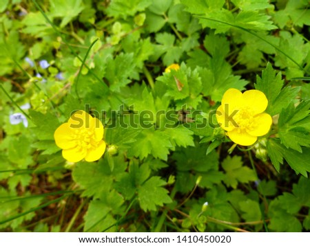 Close up of a Common Buttercup yellow flowers on green grass background. Ranunculus acris (meadow buttercup, tall buttercup, giant buttercup). Belarus, Grodno gardens. #1410450020
