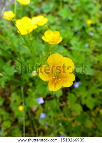 Close up of a Common Buttercup yellow flowers on green grass background. Ranunculus acris (meadow buttercup, tall buttercup, giant buttercup). Selective focus, blurred background.  #1510266935