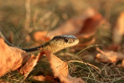 Close up of a Common Garter snake slithering around in the dead grass in the Autumn in Minnesota, USA.