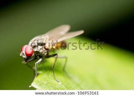 Close-up of a common house fly (Musca domestica)