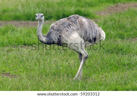 Close up of a Common Rhea (Rhea americana)