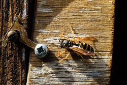 Close up of a common wasp on a wooden surface.