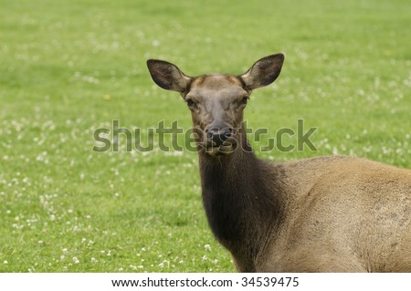Close-up of a cow elk in Yellowstone National Park