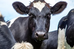 Close up of a cow in the middle of a group of cows black and white