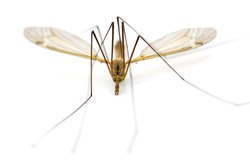 close-up of a crane fly isolated on white