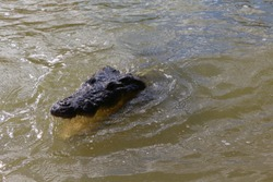 Close-up of a crocodile's head with an open, toothy mouth with eyes, ears, and nostrils emerging from the water.A reptilian animal with rough skin in its natural habitat.Mexico Yucatan