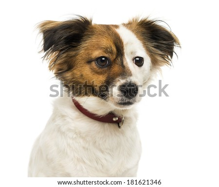 Close-up of a Crossbreed dog wearing a collar, 2 years old, isolated on white #181621346