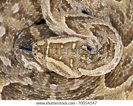 Close-up of a curled up puff adder (Bitis arietans) snake