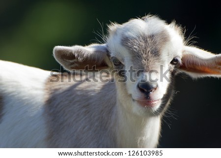Close-up of a cute baby goat