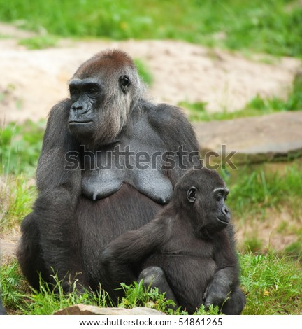 close-up of a cute baby gorilla and mother