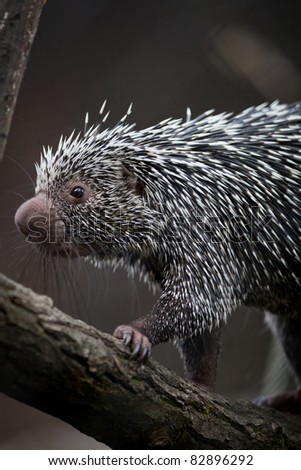 Close-up of a cute Brazilian Porcupine (Coendou prehensilis; shallow DOF) - stock photo
