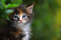 Close up of a cute brown patched blue eyes kitten sitting on a wooden floor in garden. Adorable cat with blurry green background