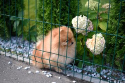 Close up of a cute dog Pomeranian spitz sitting in the garden behind fence in summer sunny day
