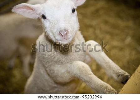 Close up of a Cute Lamb