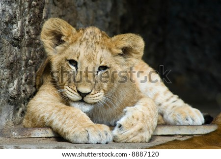 close-up of a cute lion cub