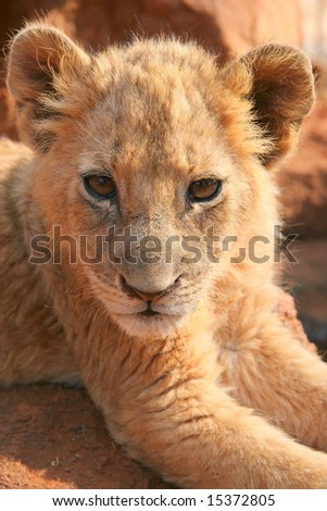 close-up of a cute lion cub, South Africa