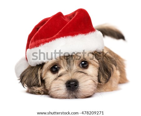 Close up of a cute lying Bichon Havanese puppy dog in Christmas hat - Isolated on a white background  stock photo