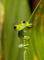 Close up of a cute Nicaragua Giant Glass Frog (Espadarana prosoblepon) peeking out of a leaf.