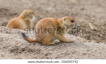 Close-up of a cute prairie dog(Holland)