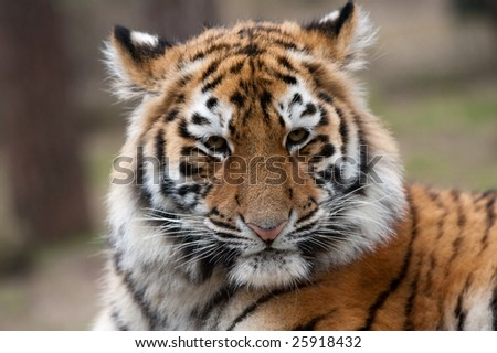 close up of a cute Siberian tiger cub (Panthera tigris altaica)