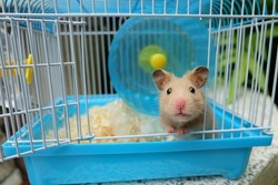 Close-up of a cute syrian hamster in a blue cage