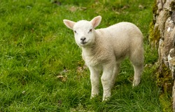Close up of a cute Texel cross young lamb with smiley face in the Yorkshire Dales, UK.  Facing forward.  Stood alone in green meadow with drystone wall.  Horizontal.  Space for copy.
