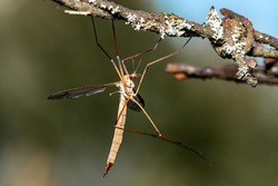 close-up of a daddy longlegs  syn crane fly on a barbed wire