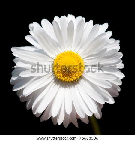 close-up of a daisy flower