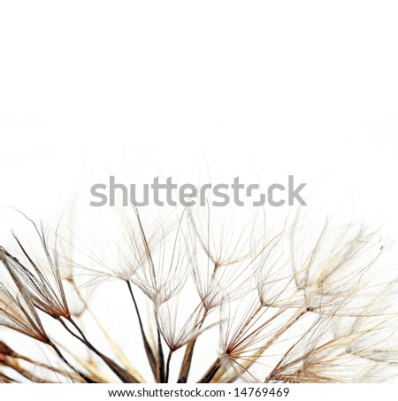 close-up of a dandelion against white background