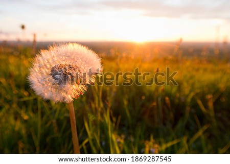 Close up of a dandelion head in a tranquil field at sunset