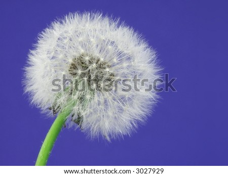 Close-up of a dandelion over a blue background.