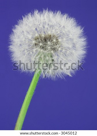 Close-up of a dandelion over blue.