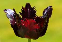 Close up of a dark tulip with jagged edges