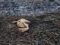 Close-up of a dead crab at the edge of the pond