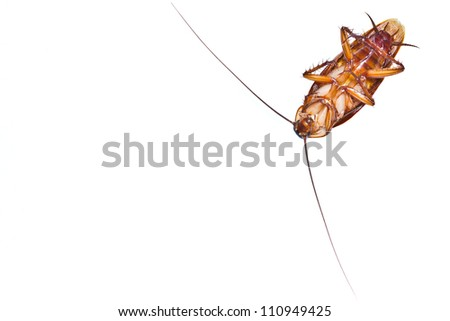 Close up of a death cockroach on white background