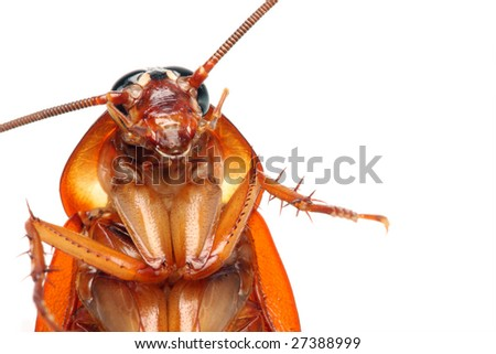 Close up of a death cockroach on white background.