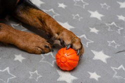 Close-up of a dog's paw with an orange ball on a gray bedspread. The Rottweiler holds its favorite rubber ball with its claws. Waiting for the game. Pet life. Indoors. Selective focus.