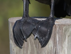 Close up of a double-crested cormorant (Phalacrocorax auritus) feet perched on wooden pylon at Sweetwater wetlands - Gainesville, Florida - black patterned sharp claws, webbed feet