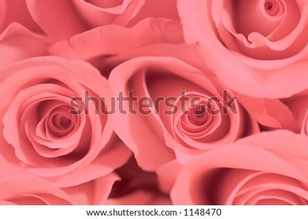 Close-up of a dozen fresh pink roses.